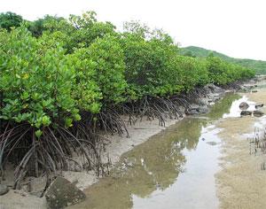 Giữ rừng ngập mặn - ứng phó với biến đổi khí hậu Rung